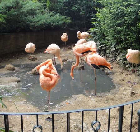 Flamingos, Zoo Leipzig