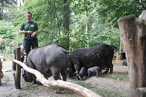 Tierpräsentation Tibetschwein
