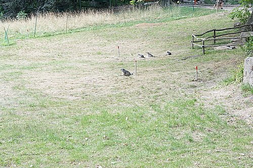 Murmeltiere