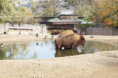 Bison, Zoo Prag