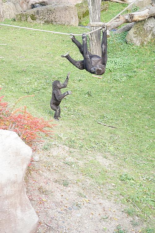 Gorilla Moja, Zoo Prag