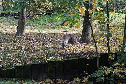 Hyäne, Zoo Prag