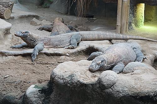 Komodowarane im Zoo Prag