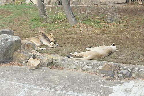 Löwen, Zoo Prag