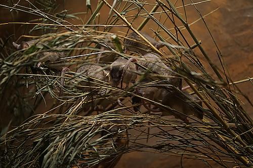 Mäuse, Africa up close, Prag