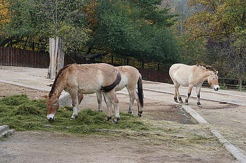 Przewalski-Pferde, Zoo Prag