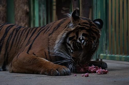 Fütterungszeit bei den Tigern, Zoo Prag