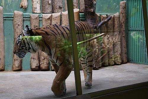 Tiger beim Tigern, Zoo Prag