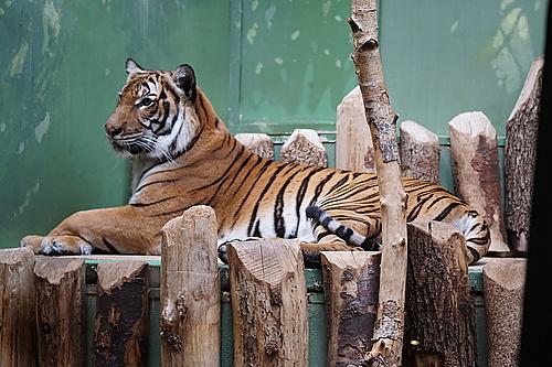 Tiger, Zoo Prag