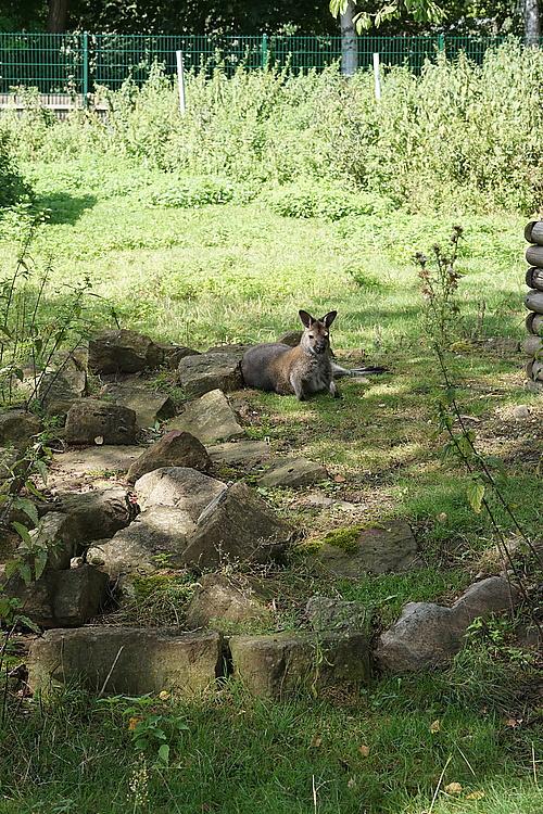 Känguru am Thürmer-Hof