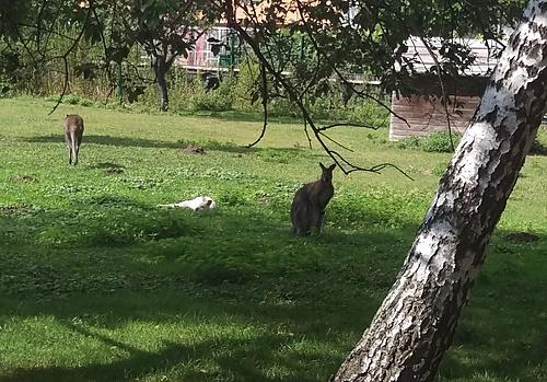 Kängurus am Thürmer-Hof
