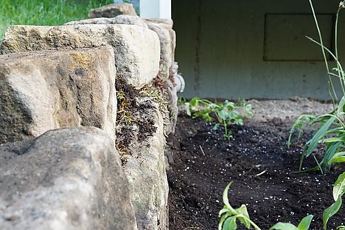 Mauerpfeffer in unserer Trockenmauer