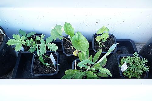Patenpflanzen vom Umweltzentrum Dresden